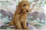 Picture of Take Home Mini Irishdoodle Gunther TODAY!