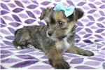 Picture of Scarlet the Jack Russell Mix will Steal Your Heart