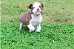 Picture of OBBA and ABKC registered Olde English Bulldogge