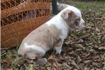 Picture of Chocolate merle male OEB