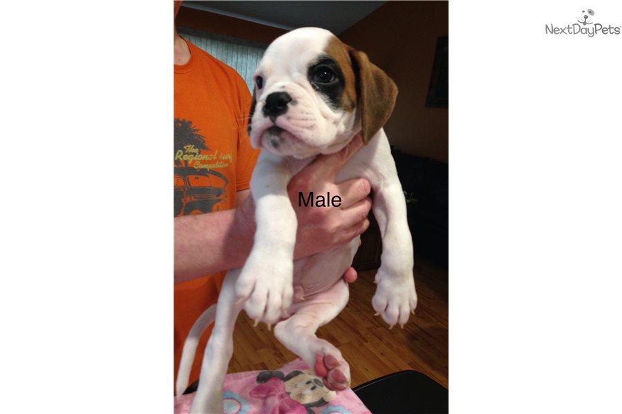 Conquistador Aleman Boxer Puppy For Sale Near New Orleans