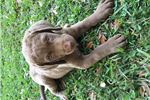 Picture of AKC Champion Bloodlines Male Puppy