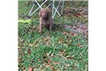 Picture of AKC Champion Bloodlines Female Puppy