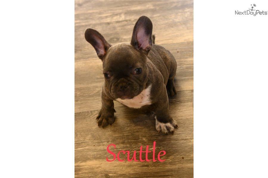 Scuttle French Bulldog Puppy For Sale Near Dallas Fort Worth