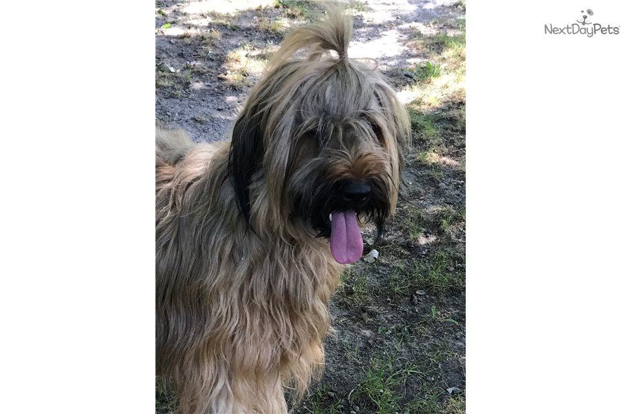Max Briard Puppy For Sale Near Kalamazoo Michigan F244718a 7201