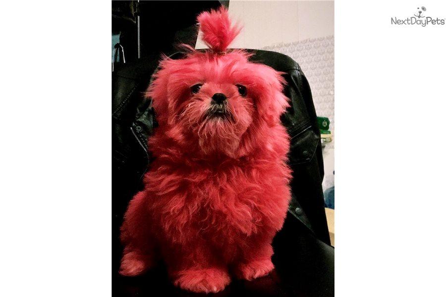 Munky Shih Tzu Puppy For Sale Near San Francisco Bay Area