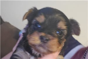 Puppies For Sale From Phoenix Arizona Breeders Page 2
