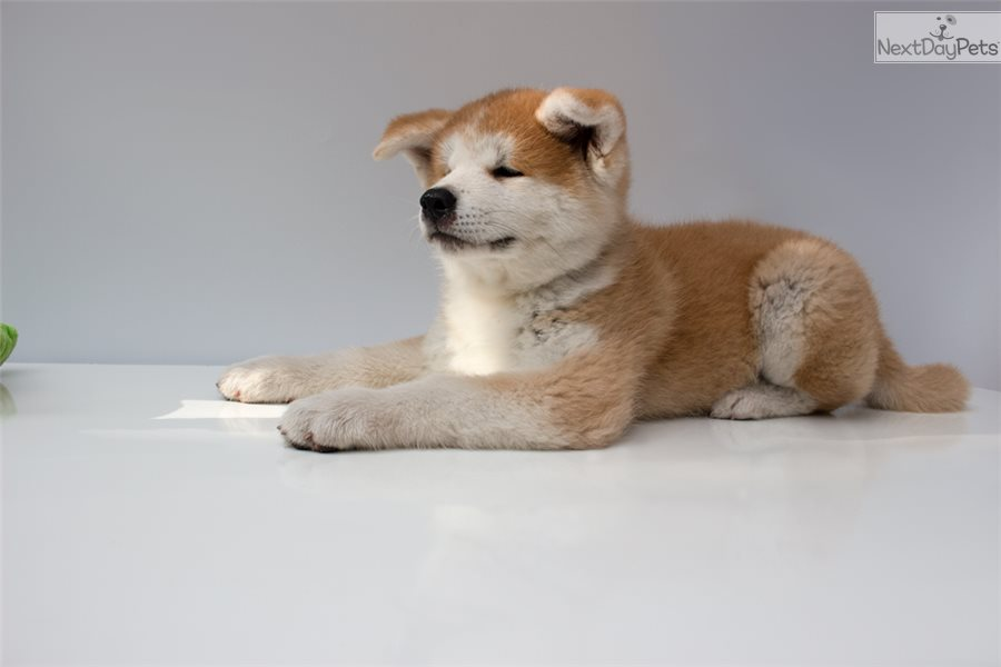 Akina Akita Puppy For Sale Near Fort Lauderdale Florida C9a9650b
