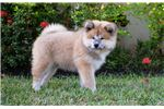 Picture of Beautiful Long Coat Japanese Akita