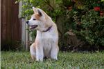 Picture of Beautiful Purebred Japanese Akita