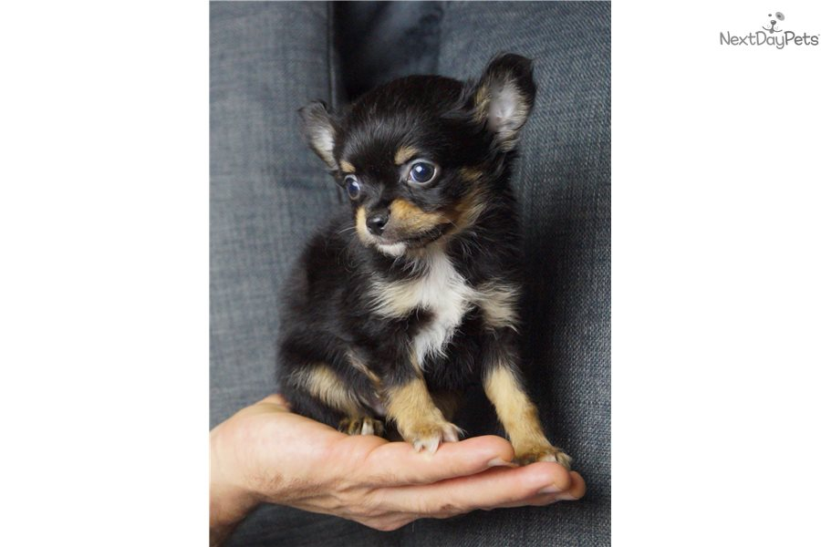 Malone Chihuahua Puppy For Sale Near Fort Wayne Indiana 44fed0e8