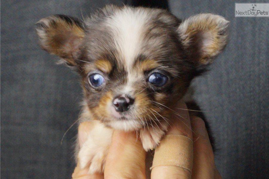 Matty: Chihuahua puppy for sale near Fort Wayne, Indiana