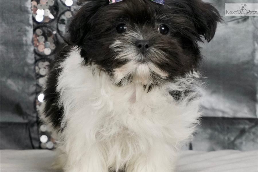 Lollie: Mal-Shi - Malshi puppy for sale near Fort Wayne