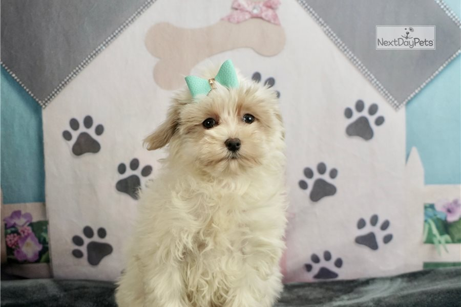 Finn: Malti Poo - Maltipoo puppy for sale near Indiana USA