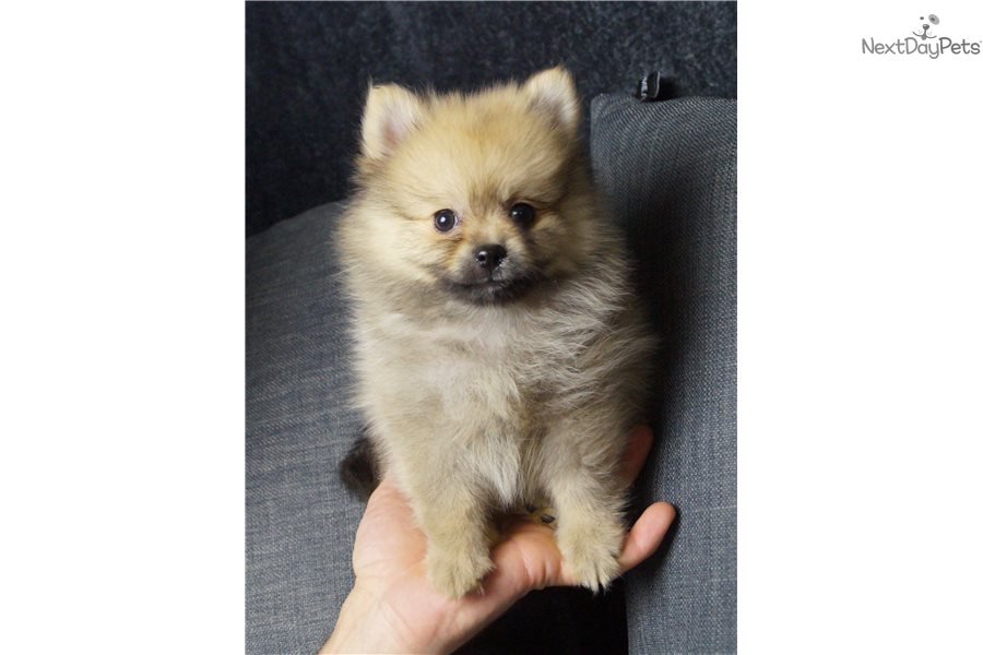 Skittles Pomeranian Puppy For Sale Near Fort Wayne Indiana