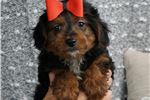 Picture of BARON ADORABLE YORKIE POO PUPPY READY TO GO CUTE!