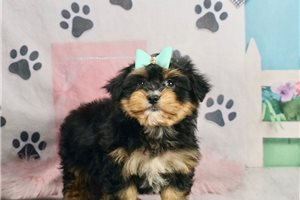Dilley | Puppy at 8 weeks of age for sale