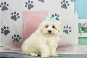 Marshmellow | Puppy at 8 weeks of age for sale