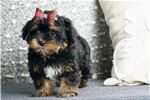 Picture of ADORABLE YORKIE POO MISTER READY TO GO!
