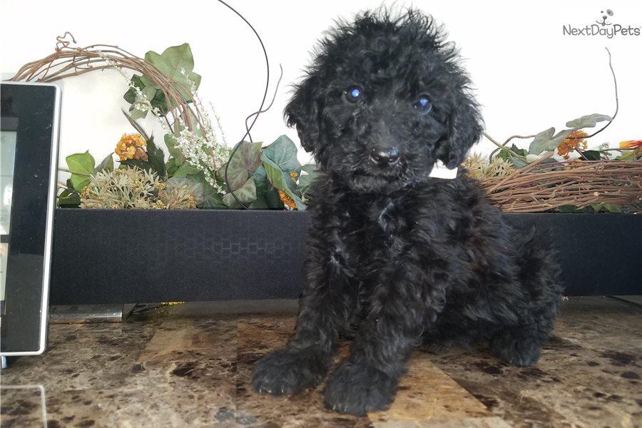 Jack: Goldendoodle puppy for sale near Salt Lake City, Utah