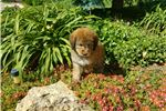 Picture of BEAUTIFUL GOLDEN BERNEDOODLE NEEDS HOME! $2500