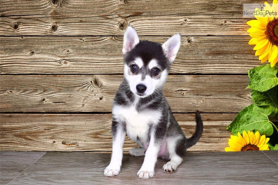 Finn Alaskan Klee Kai Puppy For Sale Near St George Utah