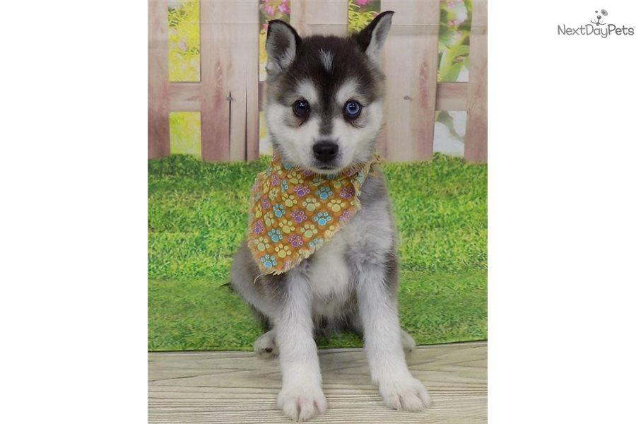 Hayes Alaskan Klee Kai Puppy For Sale Near St George Utah