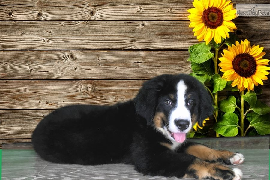 Riley Bernese Mountain Dog Puppy For Sale Near St George