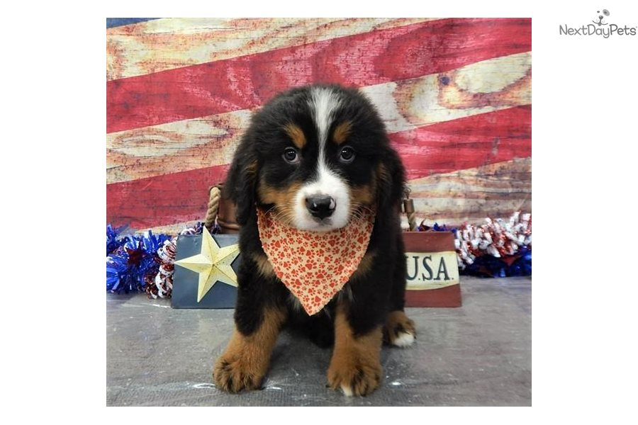 Ace Bernese Mountain Dog Puppy For Sale Near St George