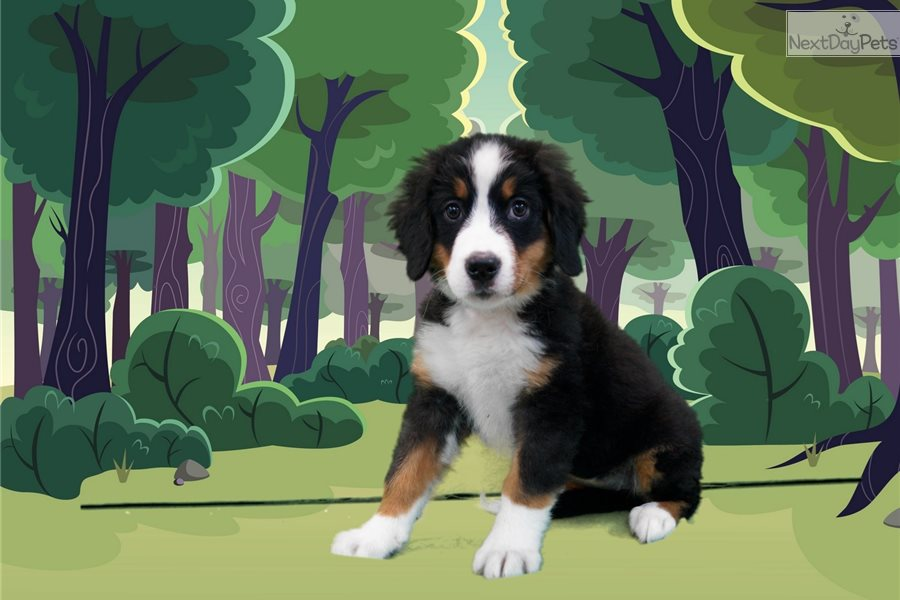 Cricket Bernese Mountain Dog Puppy For Sale Near St George