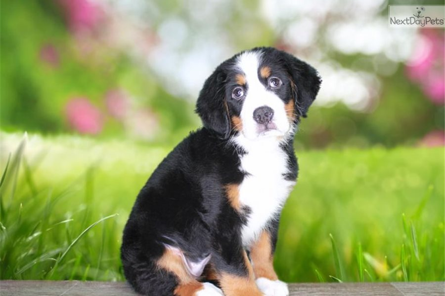 Lana Bernese Mountain Dog Puppy For Sale Near St George
