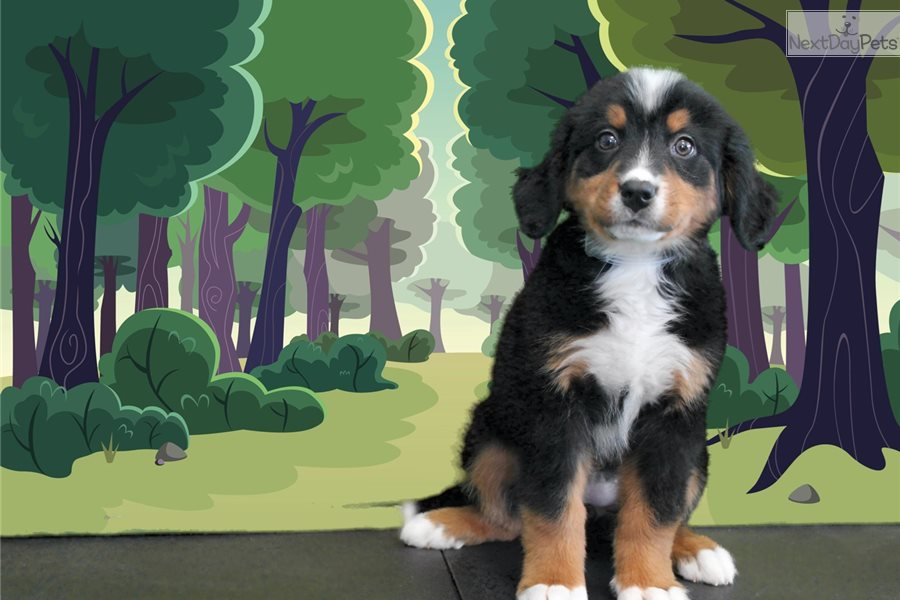 Odette Bernese Mountain Dog Puppy For Sale Near St George