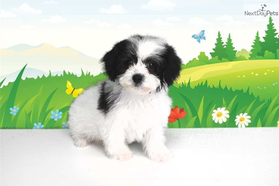 Google Bichon Frise Puppy For Sale Near St George Utah E4b88fac B431
