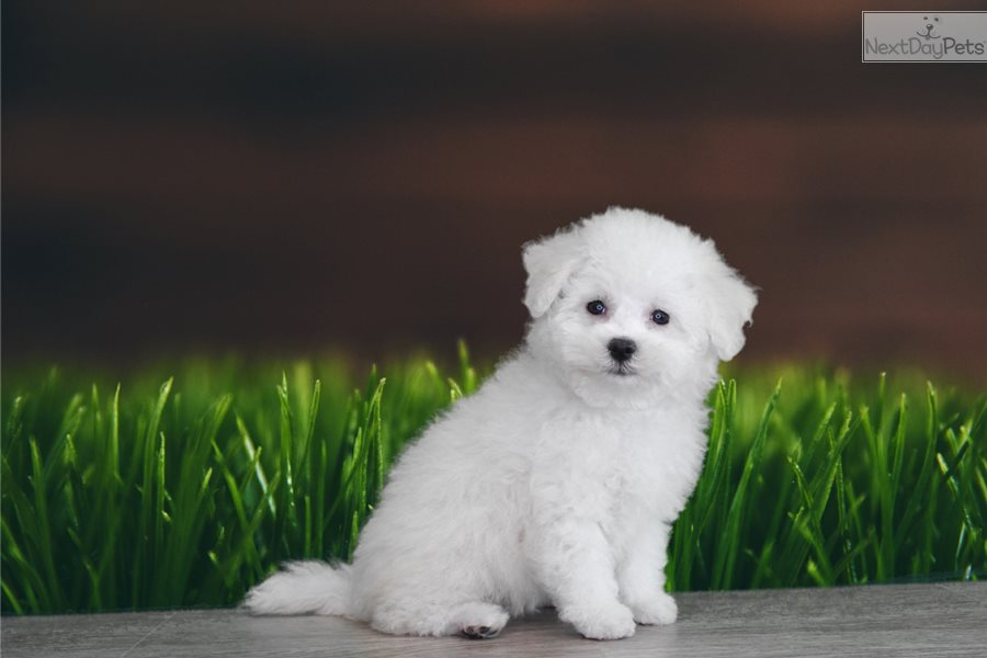 Bruce: Bichon Frise puppy for sale near St George, Utah