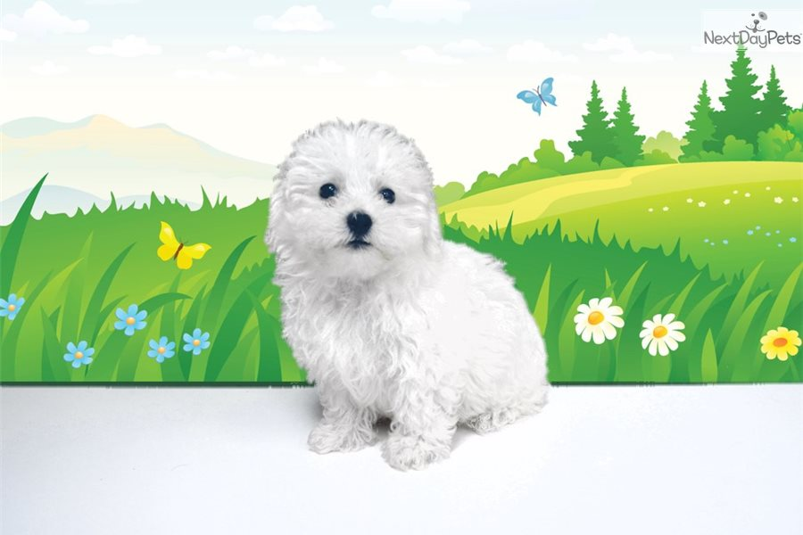 Gaston: Bichon Frise puppy for sale near St George, Utah