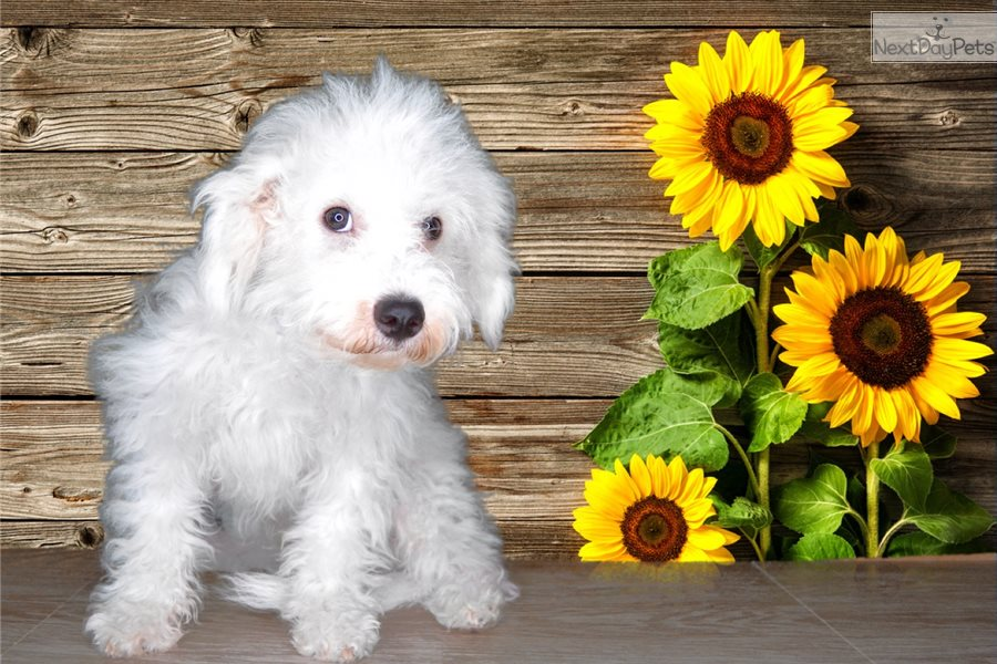 Cosmo: Bichon Frise puppy for sale near St George, Utah