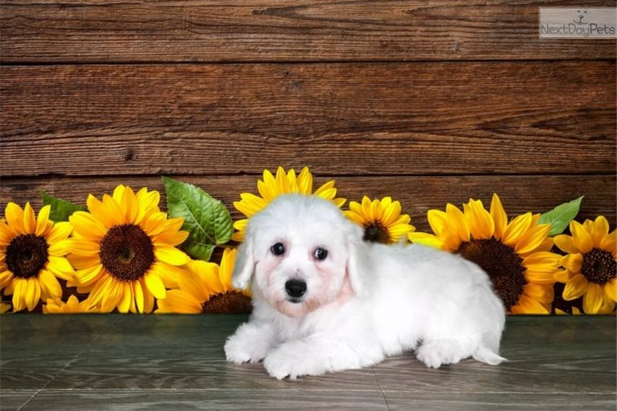Bitsy: Bichon Frise puppy for sale near St George, Utah