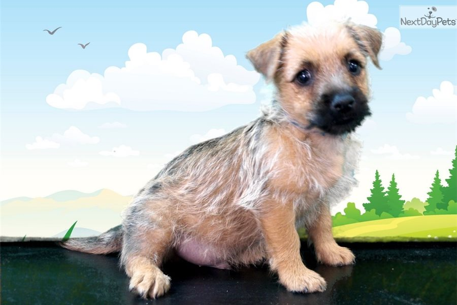 Ken Masters: Cairn Terrier puppy for sale near St George, Utah