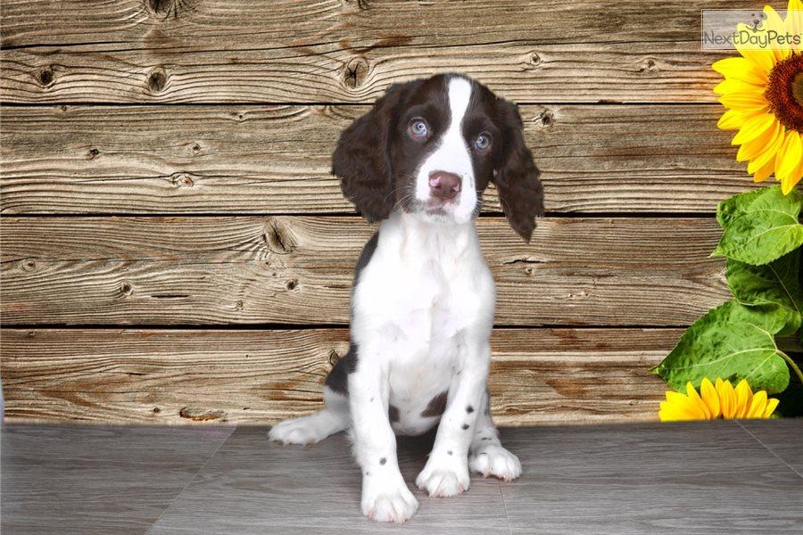 Penelope: English Springer Spaniel puppy for sale near St