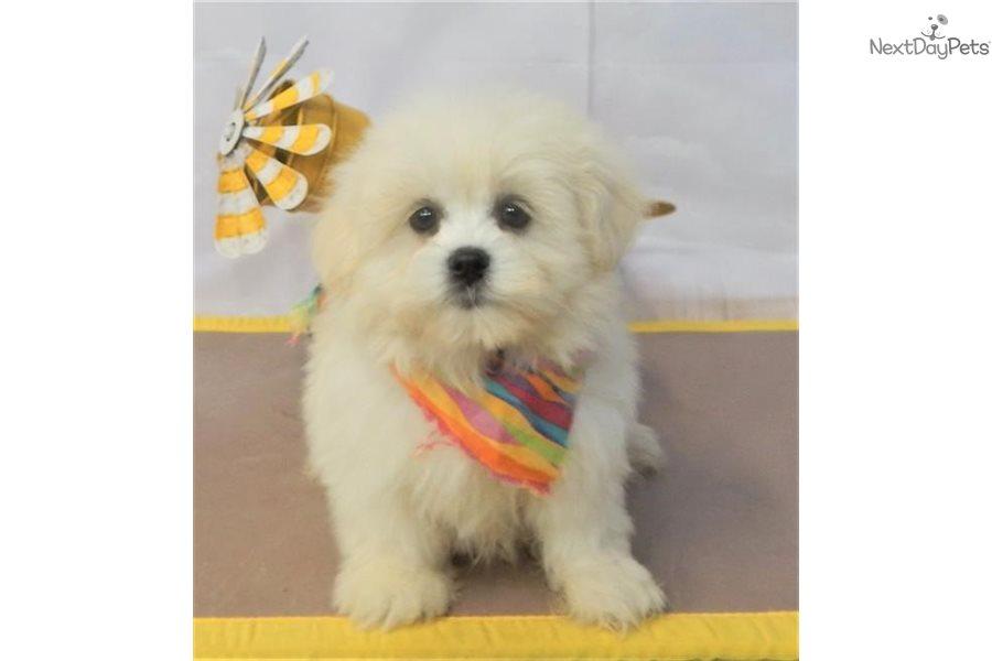 Kobe Pomeranian Puppy For Sale Near St George Utah 8e925a7a 5121