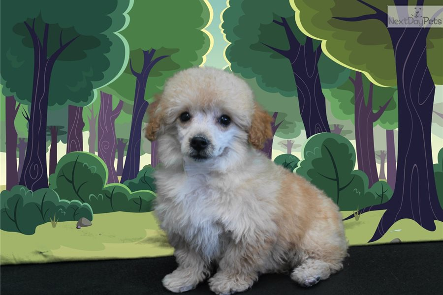 Lucy: Poodle, Miniature puppy for sale near St George ...