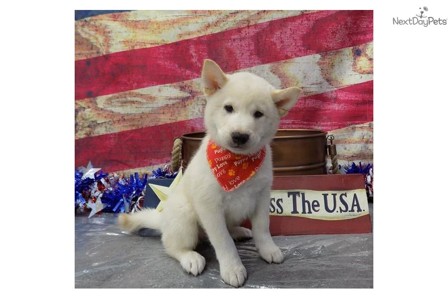 Harley: Shiba Inu puppy for sale near St George, Utah