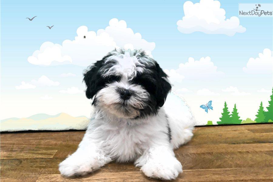 Captain Qwark Shih Tzu Puppy For Sale Near St George Utah