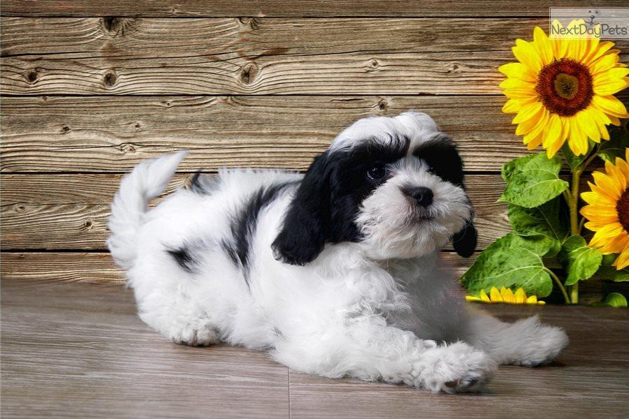 Sasha Shih Tzu Puppy For Sale Near St George Utah Bb8b5172 2261