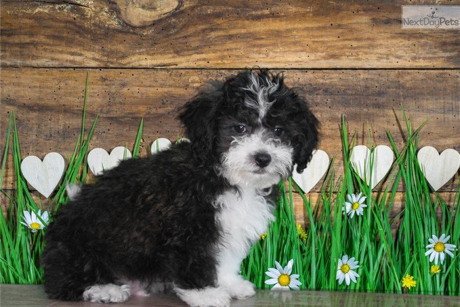 Bruno Shih Tzu Puppy For Sale Near St George Utah B8bb7e75 2b21