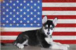 Picture of Xena is AKC and Microchipped!