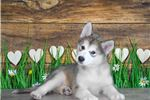All I'm Askin' Is You Check Out This Alaskan! | Puppy at 9 weeks of age for sale