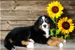 Picture of Jasmine an AKC Registered Female!