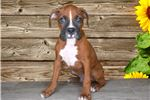 Picture of Purebred Breed Boxer!