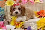 Picture of Cocker Spaniel/King Cavalier Mix! So Beautiful!
